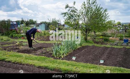 An elderly man tending his tidy allotment plot in England UK. - Stock Image
