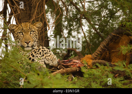 African Leopard in tree with kill, Samburu Game Reserve, Kenya, Africa (Panthera pardus) - Stock Image