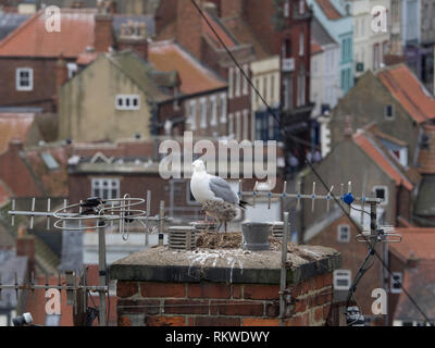 Herring Gull and chick on a nest on a chimney pot. - Stock Image