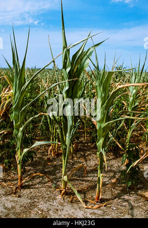 Agriculture - Mid growth grain corn crop severely damaged by drought / Sussux County, Delaware, USA. - Stock Image