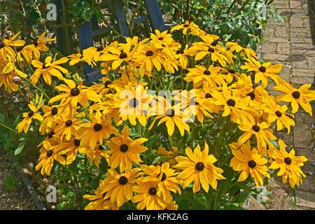 Rudbeckia hirta Black Eyed Susan flower in a garden border - Stock Image