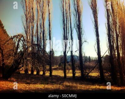 Tall trees - Stock Image