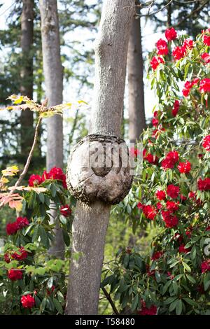 A round odd looking burl on a tree in Hendricks park in Eugene, Oregon, USA. - Stock Image