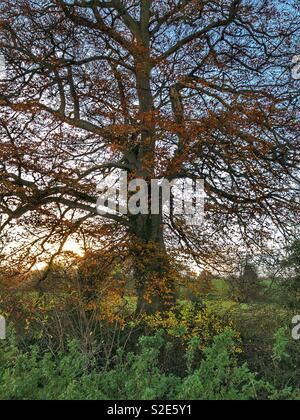 Tree, late autumn, evening light - Stock Image