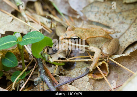 Wood Frog, Rana sylvatica, at the Essex County Greenbelt Association's Bald Hill East reservation in Boxford, - Stock Image