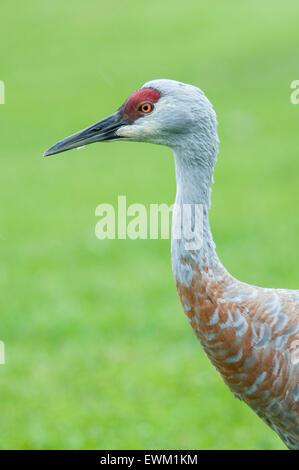 Close up of the neck and head of a Sandhill Crane, Grus canadensis, Homer, Alaska, USA - Stock Image