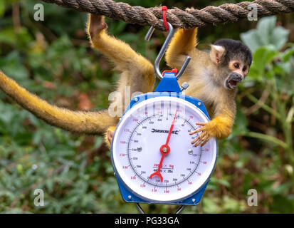 London, United Kingdom. 23 August 2018. Annual weigh-in records animals' vital statistics at ZSL London Zoo. PICTURED: Squirrel monkeys Credit: Peter Manning/Alamy Live News - Stock Image