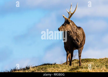 Japanese Sika Deer stag looking into distance at Knole Park, Kent, UK - Stock Image