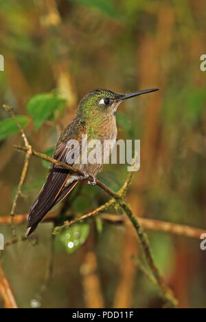 Fawn-breasted Brilliant (Heliodoxa rubinoides) adult male perched on branch  Tapichalaca Reserve, Zamora, Ecuador           February - Stock Image
