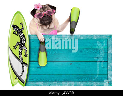 bikini babe pug dog with blue vintage wooden beach sign, surfboard and flippers for summer, isolated on white background - Stock Image