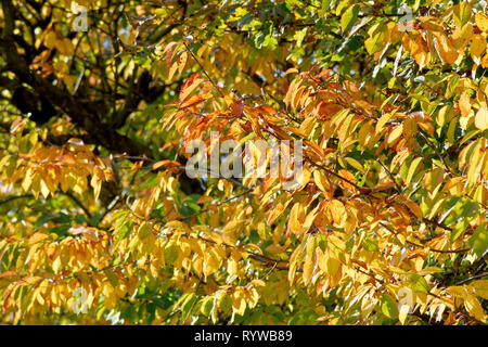 Wild Cherry (prunus avium), a back-lit shot of the leaves as they change colour in autumn. - Stock Image