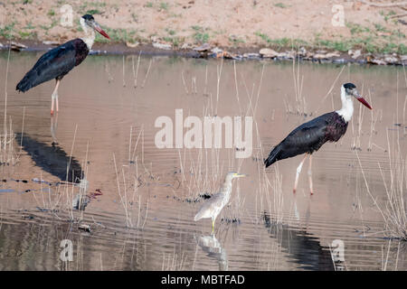 Two lesser adjutant storks, Leptopilos dubious, and an Indian pond heron, Ardeola grayii, in a pond, Bandhavgarh National Park, Madhya Pradesh, India - Stock Image