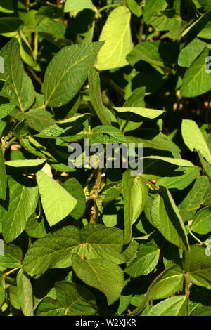 soybean plants with little lilac flowers on stem macro shot at early summer, soy field with young soy plants grow in bavaria at july - Stock Image