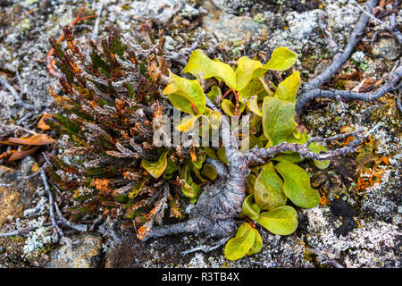 Greenland. Kong Oscar Fjord. Dream Bay. Arctic willow growing close to the ground. - Stock Image