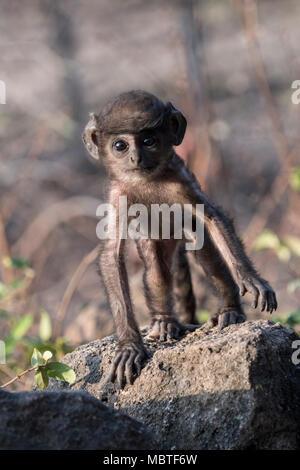 Baby Gray Langur or Hanuman Langur, Semnopithecus, Bandhavgarh National Park, Tala, Madhya Pradesh, India - Stock Image