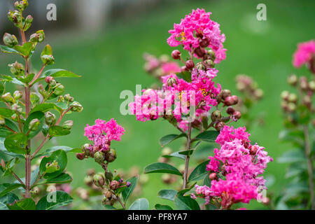 Lagerstroemia indica, hot pink blooms of a Crepe Myrtle. Kansas, USA. - Stock Image