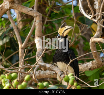 Greater Hornbill , buceros bicornis, Buffallo bay, Koh Phayam, Thailand - Stock Image