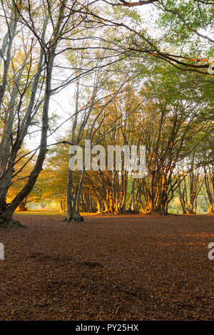 Beech trees in Canfaito forest (Marche, Italy) at sunset with warm colors, sun filtering through and long shadows - Stock Image