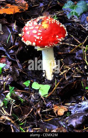 Fly Agaric Fungi, Grappenhall heys, South Warrington, Cheshire England UK - Stock Image
