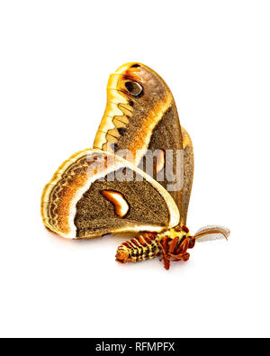An Antheraea Polyphemus moth found dead on a sidewalk isolated on white. - Stock Image
