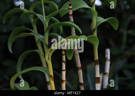 Bamboo trees against dark background - Stock Image