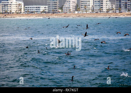 Comorants Feeding in Table Bay  - Cape Town, South Africa - Stock Image