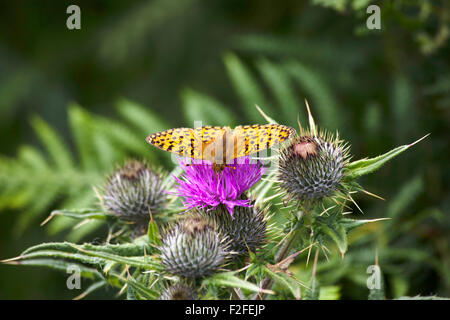 Dark Green Fritillary feeding on a Spear Thistle flower in woodland near Ullapool Wester Ross Scotland - Stock Image