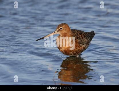 Black-tailed Godwit in breeding plumage before migration - Stock Image