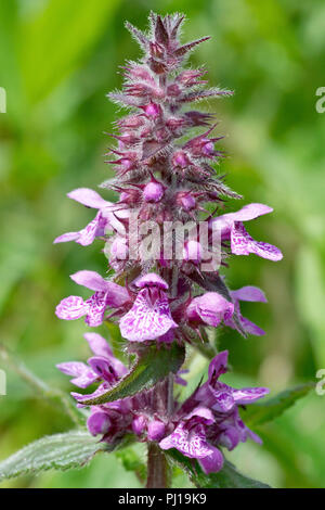 Marsh Woundwort (stachys palustris), close up of a single flowering spike. - Stock Image