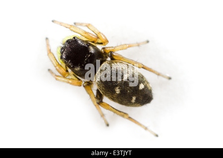 Female Heliophanus cupreus spider, part of the family Salticidae - Jumping spiders. Isolated on white background. - Stock Image