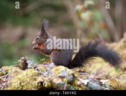 Red Squirrel, Sciurus vulgaris, Triberg Falls, Triberg, Black Forest, Germany - Stock Image