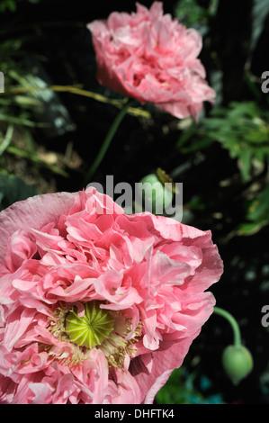Closeup of flower of Peony form Opium Poppy (Papaver somniferum), variety Breadseed, growing in suburban garden - Stock Image
