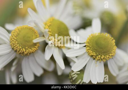Close-up macro of fresh wild Camomile flower heads - Stock Image