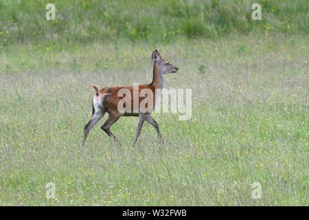 A red deer (Cervus elaphus) strolling through grassland in summer on the Isle of Mull, Inner Hebrides, Scotland, UK, Europe - Stock Image