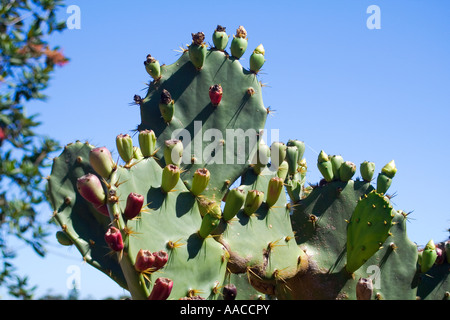 Prickly pear cacti Thorns - Stock Image