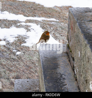 A close-up of a robin standing on a step in a forest in Snowdonia, Wales, UK - Stock Image