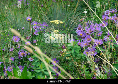Michaelmas daisies growing in summer at Nigel Dunnet Beech Gardens at the Barbican housing estate in the City of London UK  KATHY DEWITT - Stock Image