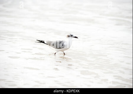 Seagull isolated is a seagull walking gently in the ocean water. - Stock Image