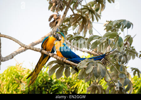 Pair of Blue-and-yellow macaws, Ara ararauna, also known as Blue-and-gold Macaws, perched together as love-birds, - Stock Image