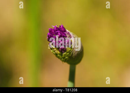The bud of a purple allium starting to flower - Stock Image