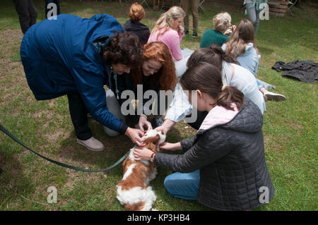 Girls petting a Cavalier King Charles Spaniel of the Blenheim colouring - Stock Image