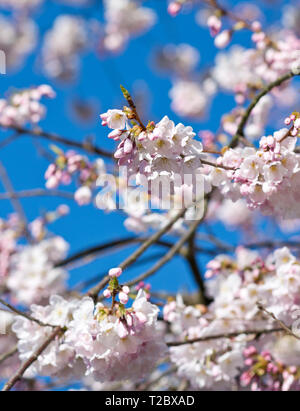 Closeup of pink akebono cherry blossoms on branches against a blue sky in Metro Vancouver, Canada. - Stock Image