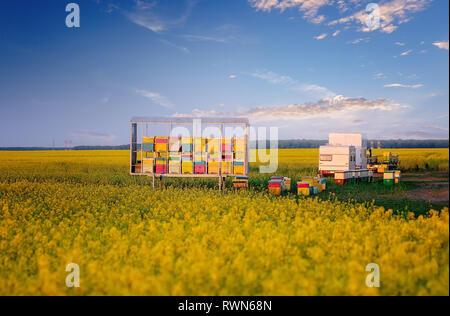 Apiary in rape field. Rapeseed season. Nomadic Beekeepers. Colorful bee hives - Stock Image