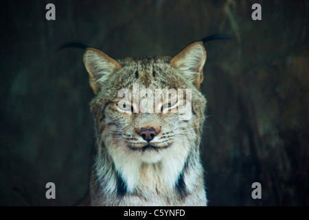Canadian Lynx - Stock Image