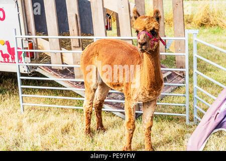 Alpaca, trimmed alpaca, shorn alpaca, sheared, sheared alpaca, alpacas, young alpaca, baby alpaca, alpaca farm, farming alpacas, alpaca cute, farm - Stock Image