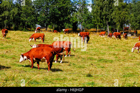 grazing cows, cattle in an old rural surrounding - Stock Image