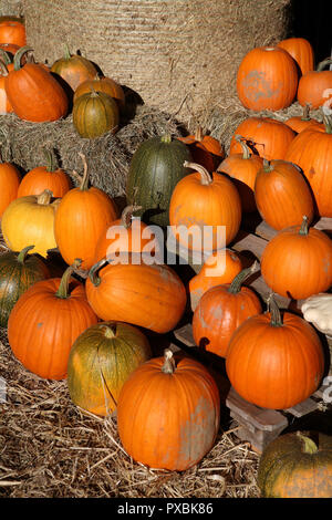 Pumpkin patch - Stock Image