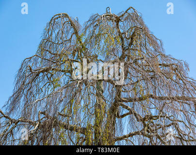 weepeing willow in early spring without many leaves - Stock Image