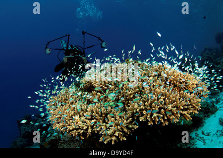 Scuba diver photographing school Green pullers Chromis viridis sheltering in branches Acropora hard coral Vaavu - Stock Image