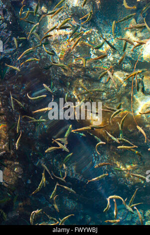 A shoal of young fish is swimming in the crystal clear water of a Norwegian fjord. - Stock Image